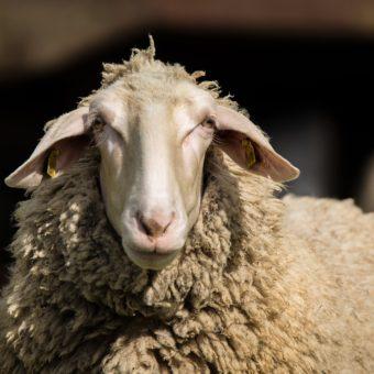 carne-ovina-racof